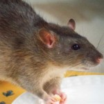 Contact our rodent control of Montclair exterminators today! 000-000-0000
